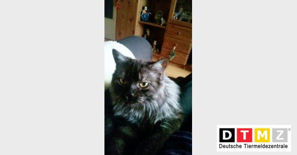Vermisste Langhaar Katze Wuschel