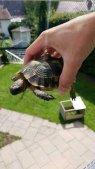 Landschildkröte # entlaufen in 78665 Frittlingen