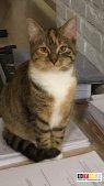 Katze Miss Kitty vermisst in 47804 Krefeld