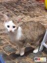 Katze Lotte verschwunden in 35415 Pohlheim